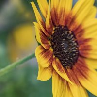 FOTD - January 19, 2020 - Sunflower