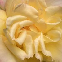 FOTD - January 20, 2020 - Roses