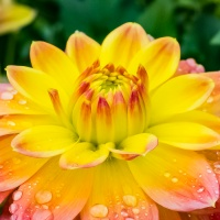FOTD - January 26, 2020 - Dahlia with Raindrops