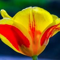 FOTD - January 27, 2020 - Tulip