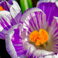 Sunshine's Macro Monday #26 - Crocus
