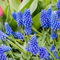 FOTD - January 28, 2020 - Grape Hyacinth