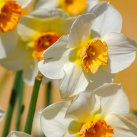 FOTD - January 29, 2020 - Daffodils