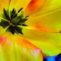 FOTD - February 16 - Tulip