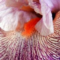 FOTD - February 18 - Bearded Iris