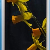 FOTD - February 20 - Daffodil