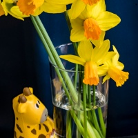 LPM's Photo Adventure challenge - Still Life with Daffodils