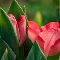 FOTD - February 21 - Tulips