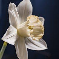 FOTD - February 23 - A delicate daffodil