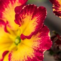 Sunshine's Macro Monday #30 - Primroses