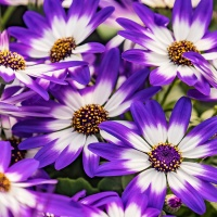 FOTD - February 27 - Cineraria Daisies