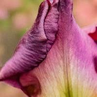 FOTD - March 27 - Bearded Iris Bud