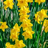 FOTD - March 31 - Daffodils
