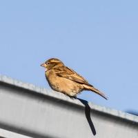 April 2 - #SquareTops - Sparrow