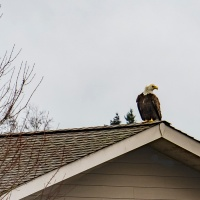 April 4 - #SquareTops - Bald Eagle