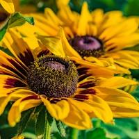 FOTD - April 7 - Sunflower