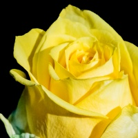 Pick Me Up - Yellow roses signify ...