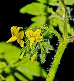 Tomato plant bud