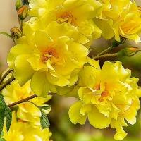 FOTD - April 9 - Roses