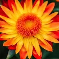 FOTD - April 8 - Straw Flower