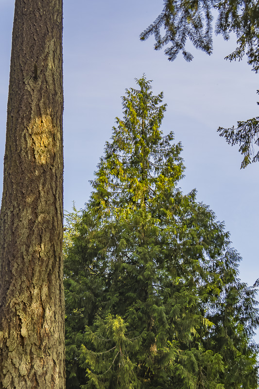 Sunday Trees – 443 – Old Growth Trees