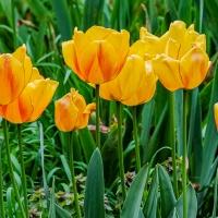 FOTD - May 28 -Tulips