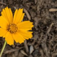 FOTD - May 29 - Coreopsis