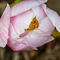 FOTD - May 31 - Peony wanting to bloom