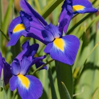 FOTD - June 4 - Dutch Iris
