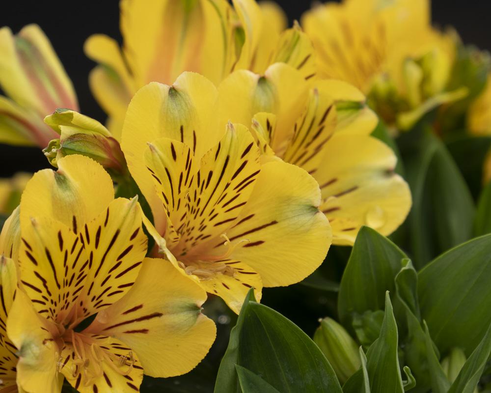 FOTD – June 18 – Peruvian Lily