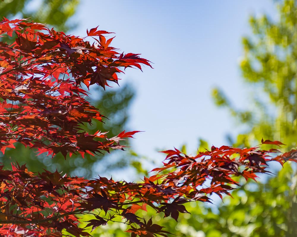 FOTD – June 20 – Japanese Maple Leaves
