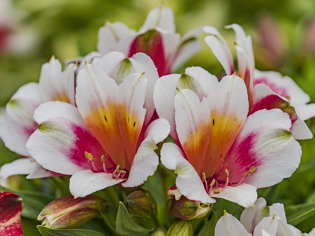 FOTD – June 24 – Peruvian Lily