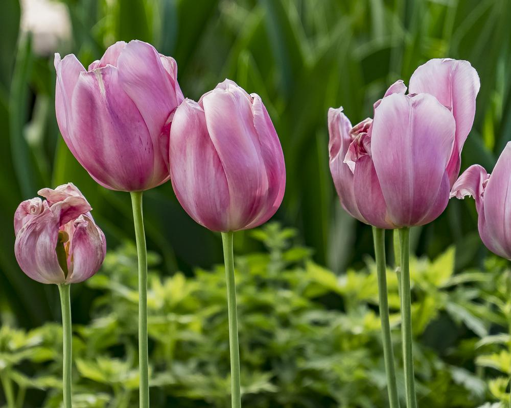FOTD – June 26 – Aging Tulips