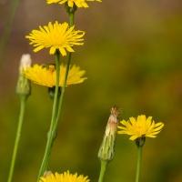 FOTD - July 2 - Dandelion