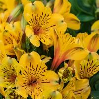 FOTD - July 4 - Purvian lilies