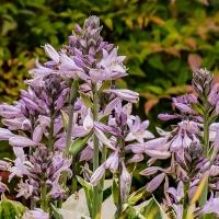 FOTD - July 5 - Hosta Flowers