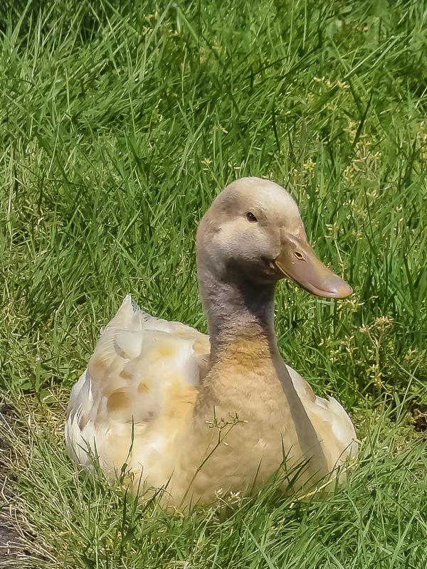Bird Weekly – Photo Challenge – Baby duck, duck, goose, geese