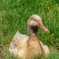 Bird Weekly - Photo Challenge - Baby duck, duck, goose, geese