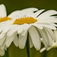 FOTD - July 7 - Daisy