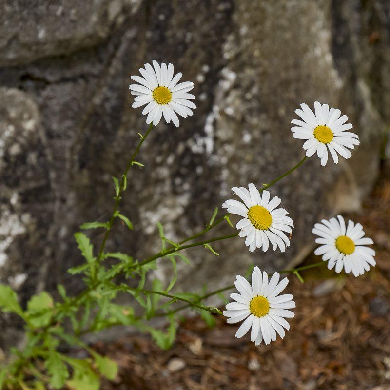 FOTD – July 8 – Daisies