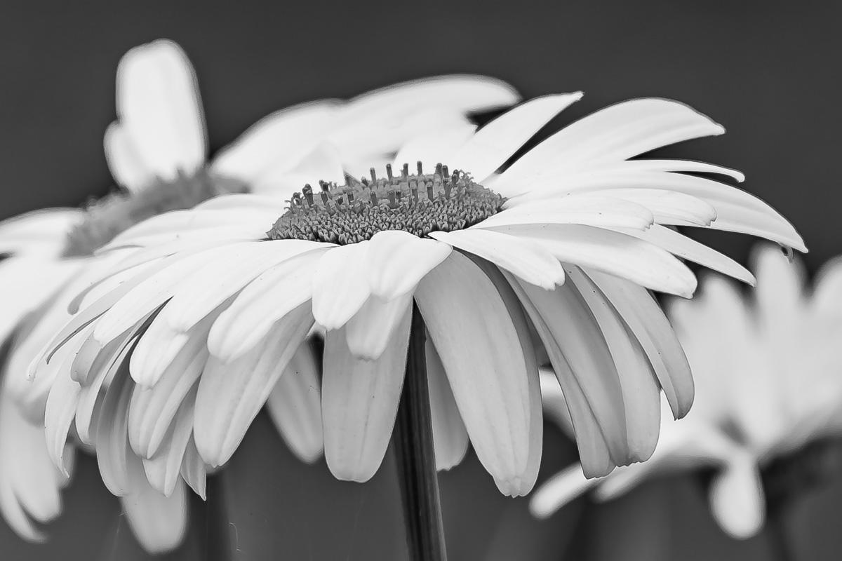 Cee's Black & White Photo Challenge: Close ups or macros