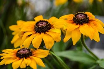 daisy, sunflower, Cee Neuner, ceenphotography.com, yellow, brown, flower