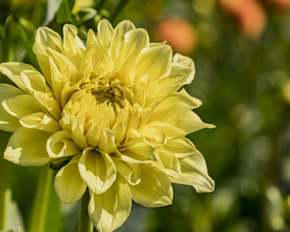 FOTD, flower of the day, dahlia, yellow, close up, cee neuner, ceenphotography.com