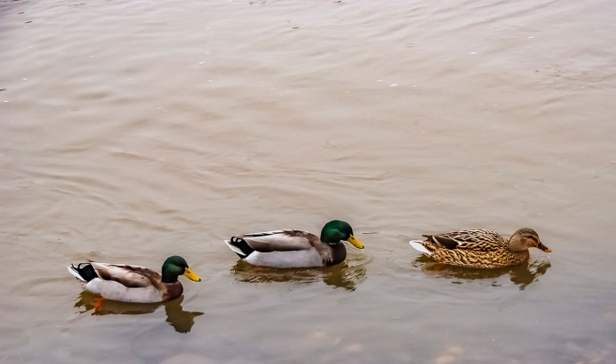 Three ducks on pond.