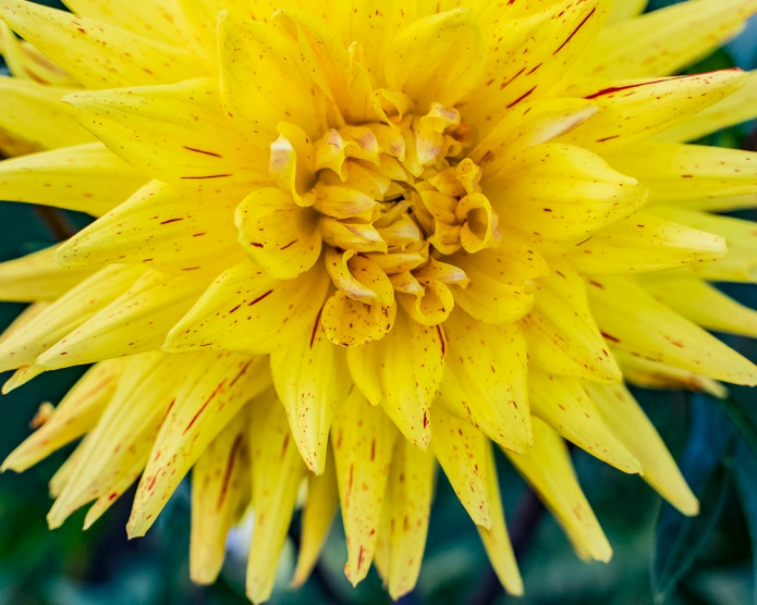 Cee Neuner, ceenphotography, yellow, close up, dahlia, red freckles, FOTD, Flower of the day