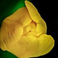 FOTD - July 13 - Tulip Bud