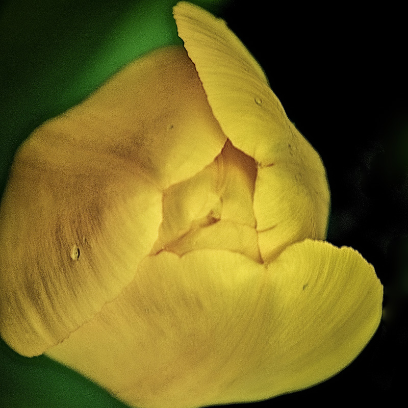 tulip, bud, yellow, ceenphotography.com, Cee Neuner, FOTD, flower of the day