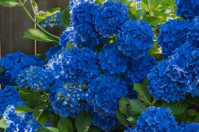 ceenphotography.com, FOTD, flower of the day, Cee Neuner, photography, hydrangea, bush, dark blue, flower