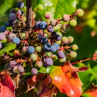 FOTD - July 15 - Oregon Grape Berries