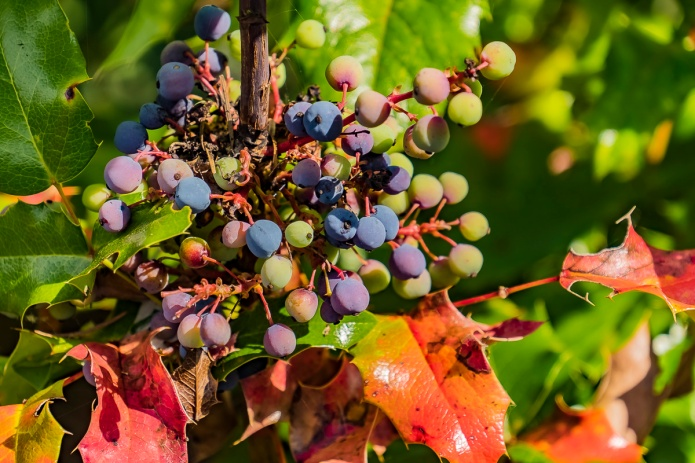 ceenphotography.com, FOTD, flower of the day, Cee Neuner, photography, oregon grape, berries, blue, green, red